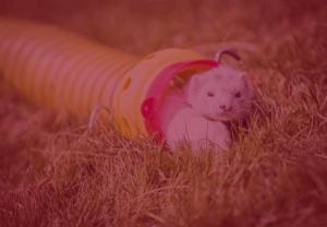 ferret racing image