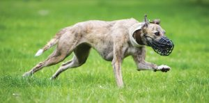 Terriers and Lurchers